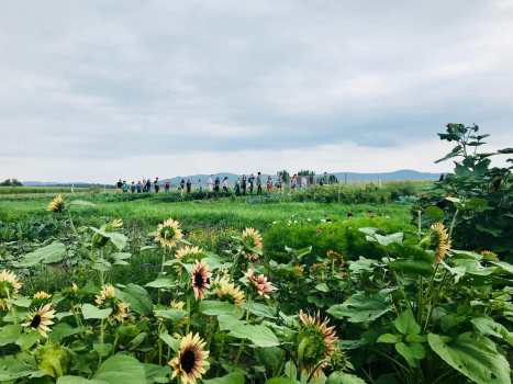 College Tour walks across the fsrm in the background of the photo. The mountains are in the distance, and the sunflowers bloom in the foreground
