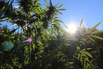 sun pores through tall hemp plants, the sky is a rich blue and the plants are bright green