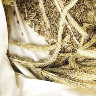 heads of wheat grain and loose seeds in a cloth bag
