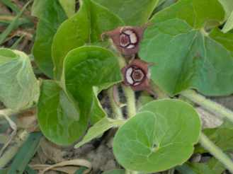 wild ginger's leaves and flower