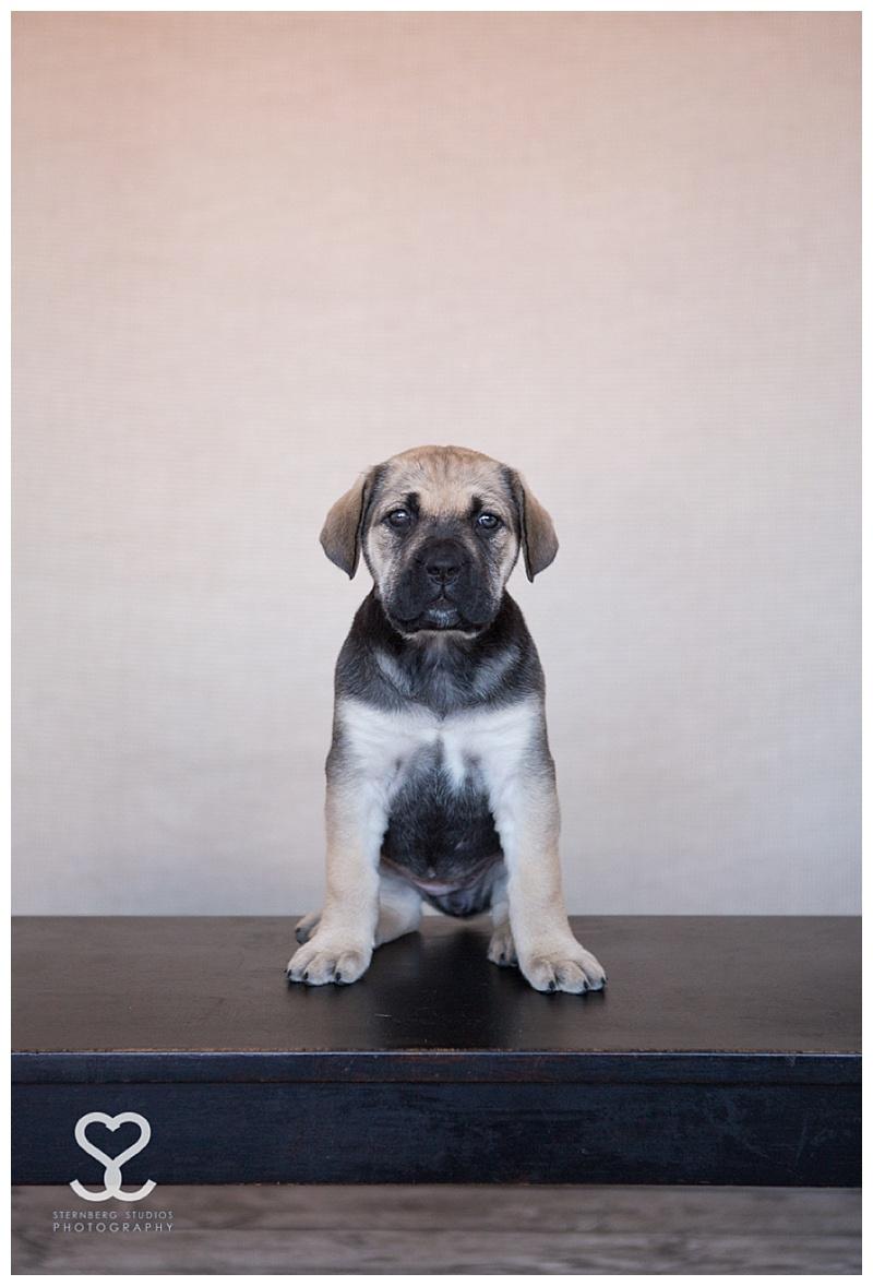 Sternberg Studios,Sternberg Studios Photography,baby,cane corso,duluth,michelle sternberg,minnesota,mn,pet photography,puppy,superior,wi,wisconsin,