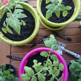 Tomaten auf dem Balkon pflanzen