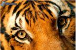 tigre,-occhi-162763