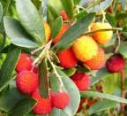Corbezzolo - Frutti