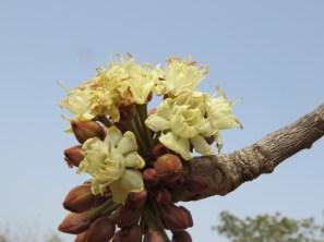 vitellaria_paradoxa_emasvitellaria_paradoxa_flower22_1659_91a114