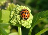 beetle_harmonia_axyridis_00_var_succinia_harlequin_ladybird_28-03-07_1