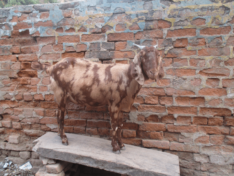 Camouflaged goat. The colouring was actually quite unusual and beautiful.