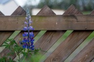 A single Lupin in the garden of the house in Þvottá
