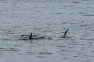 Dolphins in Húsavík