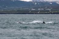 Whales sharing hunting dutiesvat Húsavík