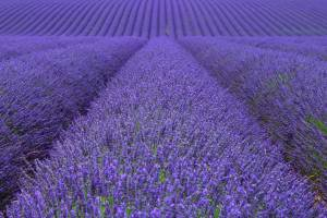 The Lavender Fields of Valensole