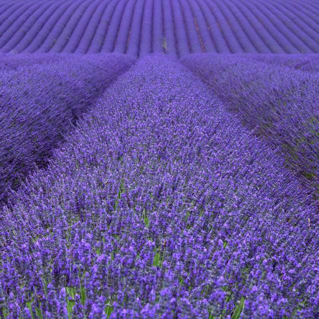 Steve and Carole in Vence - The Lavender Fields of Valensole