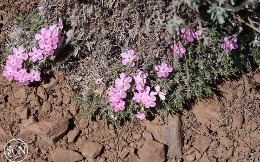 Pink desert blooms