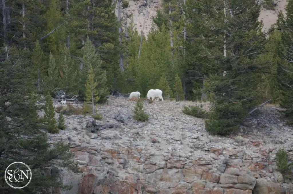 rk mountain goats