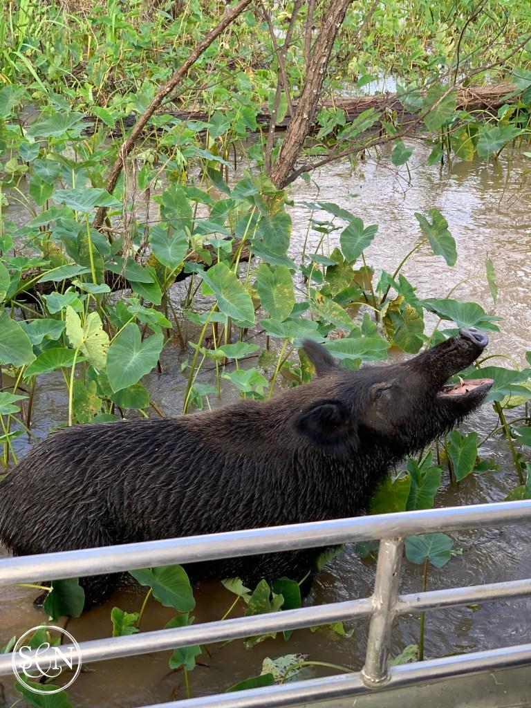 Feral Pig Honey Island Swamp Tour