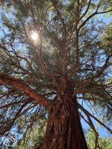 Beautiful shade tree on the PCT