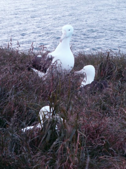 Diomedea sanfordi - Otago Peninsula