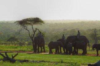 Elephants and handlers