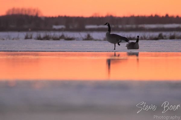 Goose With Cold Feet