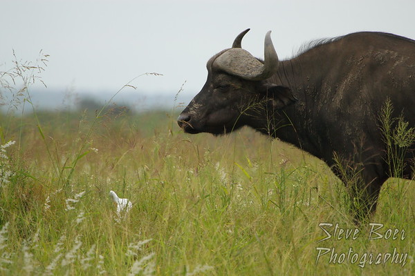 Water Buffalo and Egret