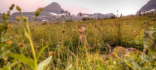 Ground Squirrels in Glacier
