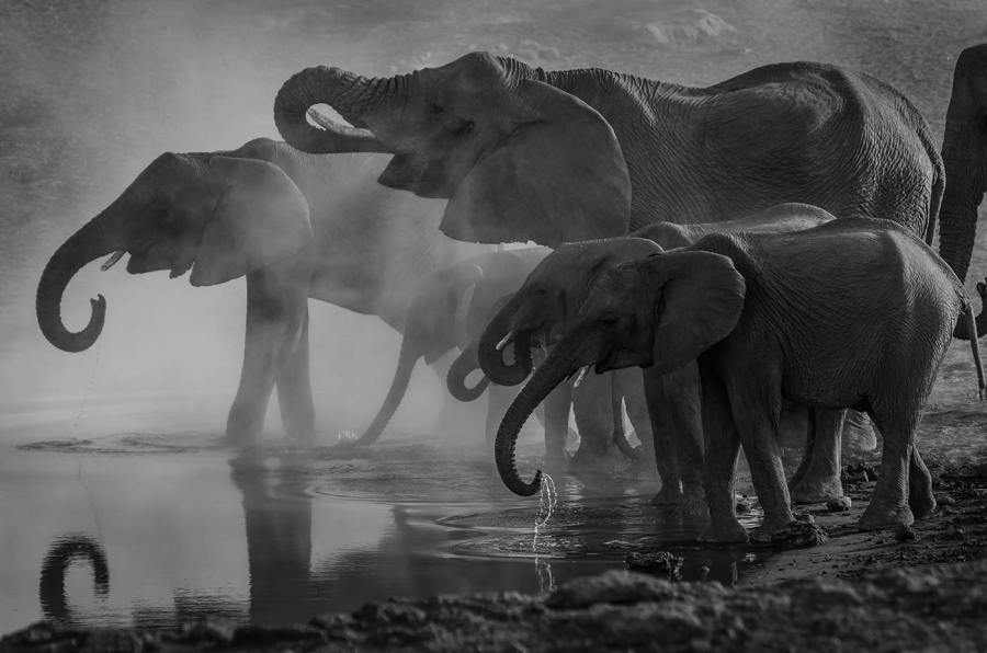 A pack of elephants bathing and drinking at a watering hole