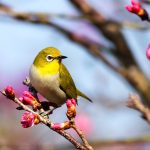 A yellow bird perched on a Sakura tree