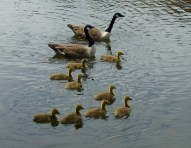 Geese On The Canal at Brownhills