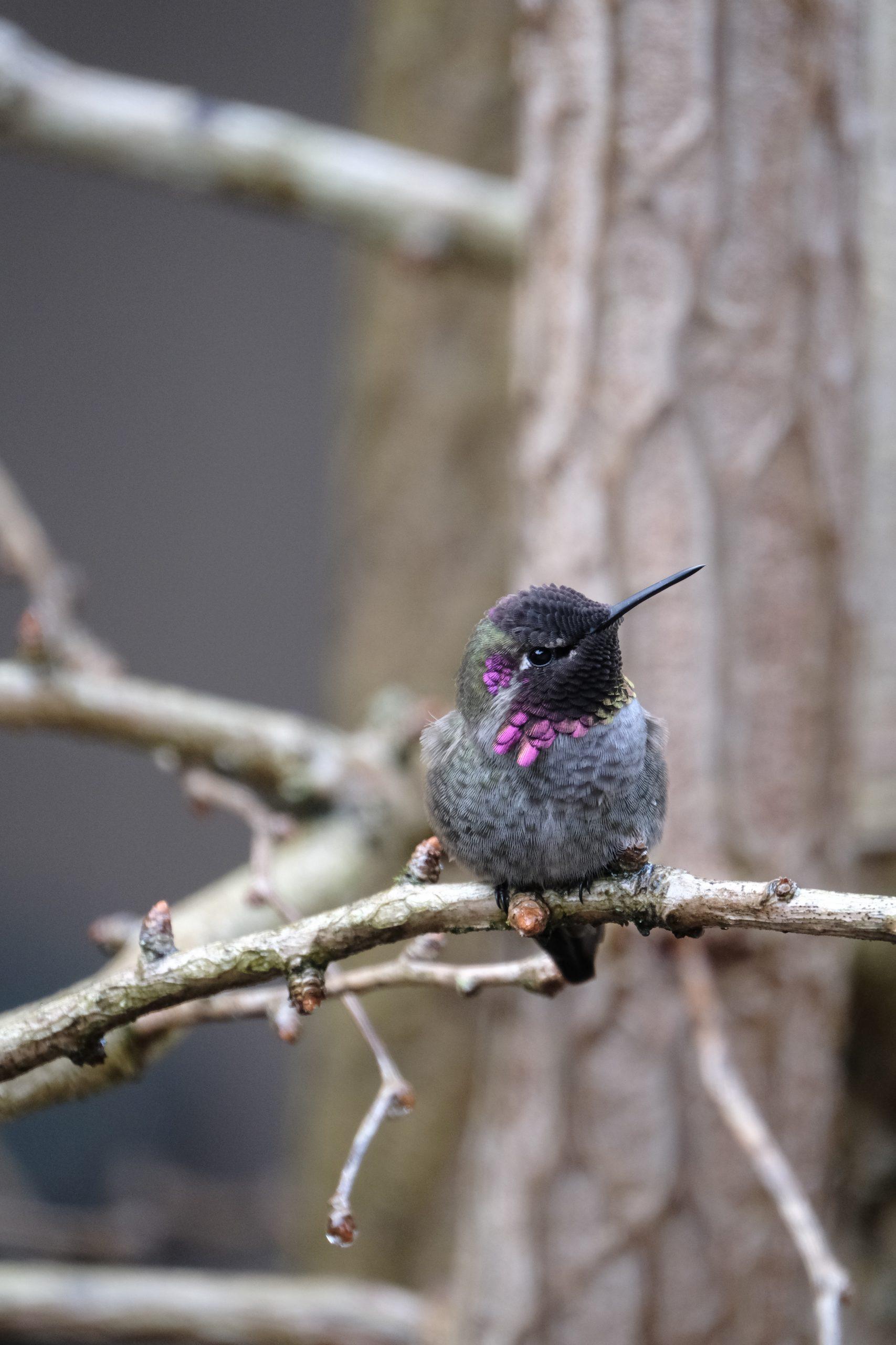 Hummingbird 15 December 2020 Oregon Copyright Steve J Davis