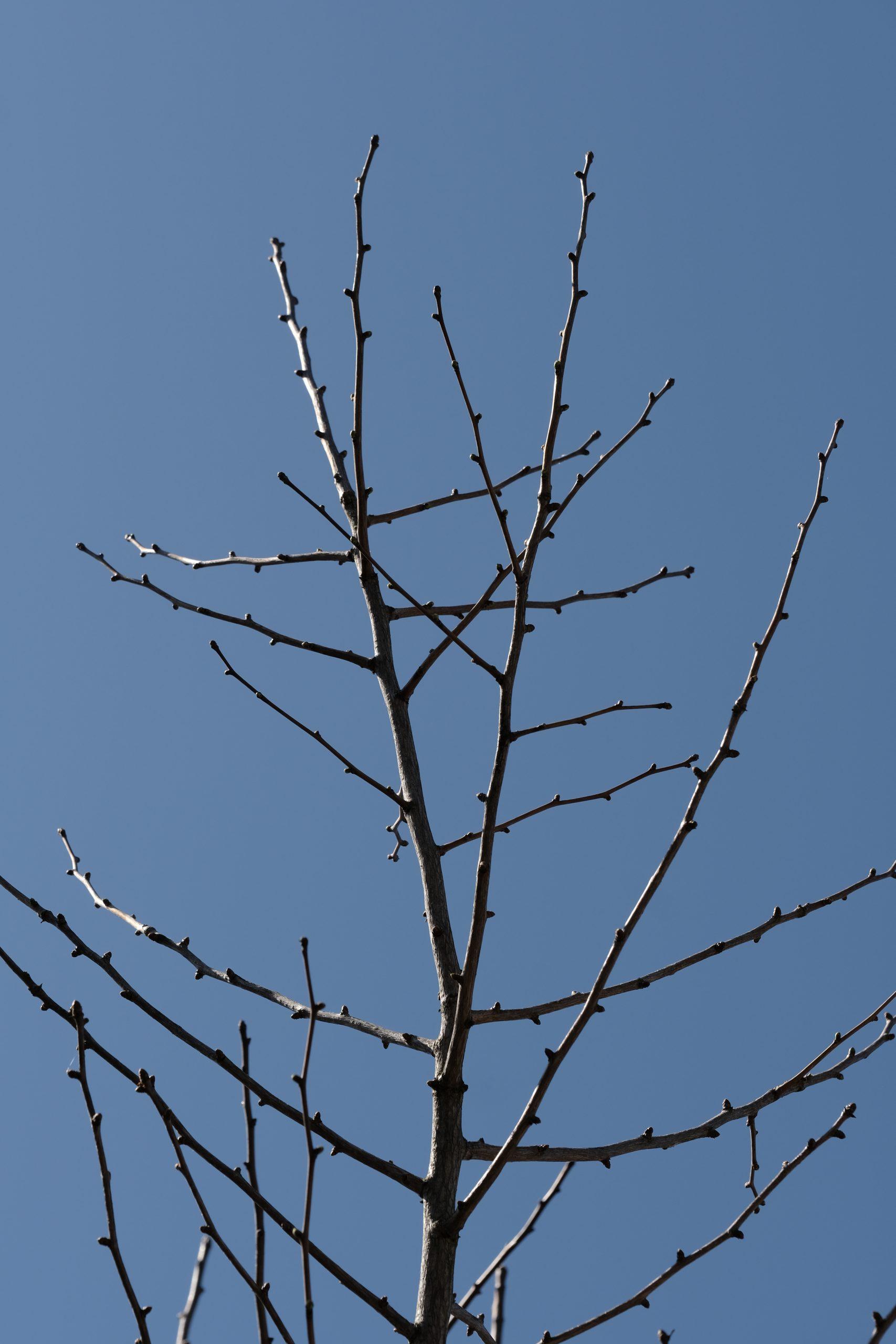 Ginkgo Tree 31 March 2021 Oregon Copyright Steve J Davis