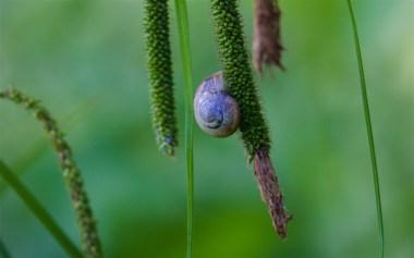 Snail on pendulous sedge