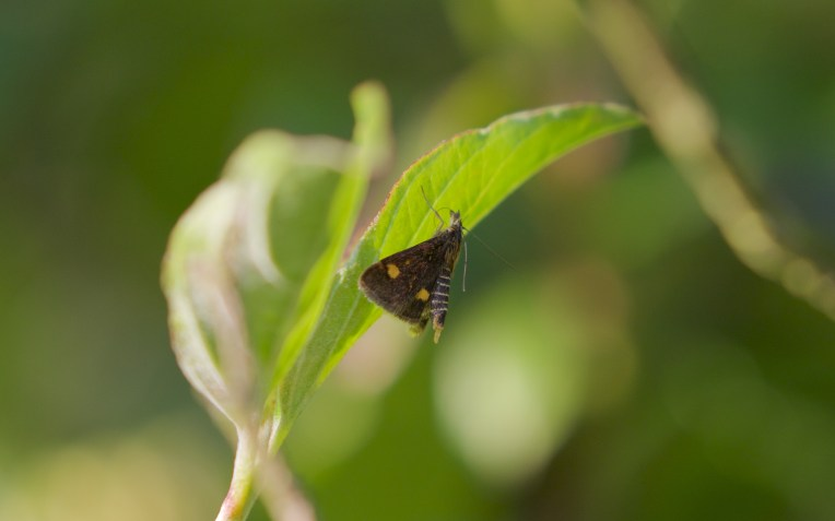 Female mint moth sp. with raised abdomen and exposed attractant gland