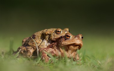 Pair of toads heading for the pond