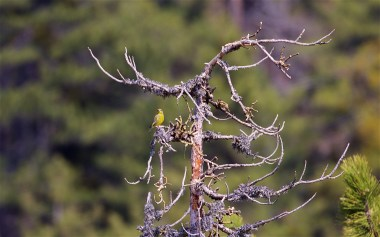 Greenfinch male singing from a pine