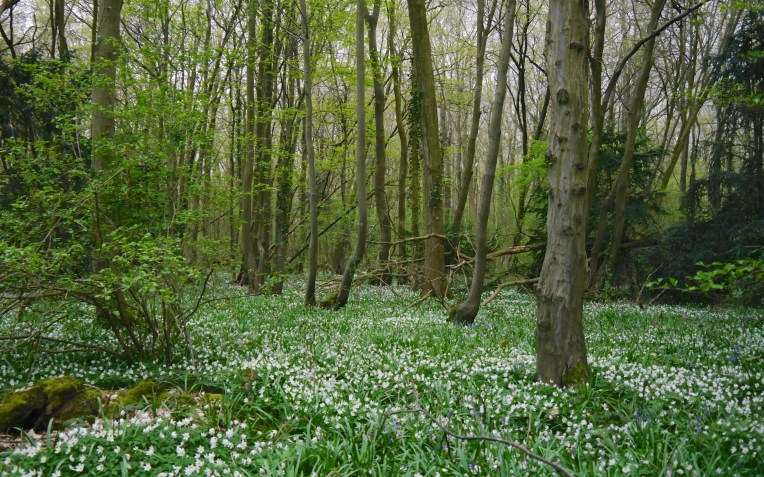 The simple but spectacular carpet of wood anemone