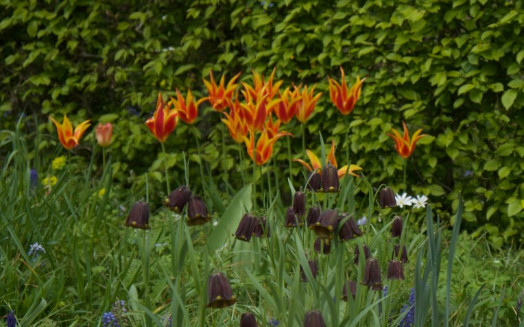 Fritillaries and tulips