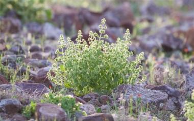 Sage species