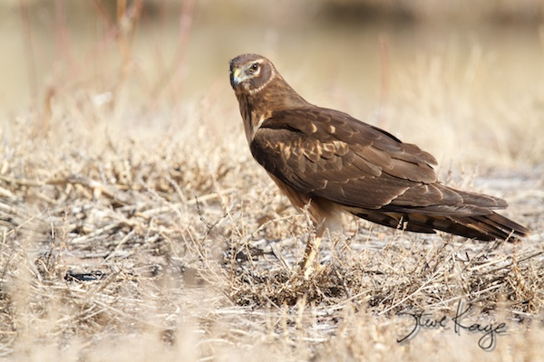 Northern Harrier, Annual Report 2013, by Steve Kaye