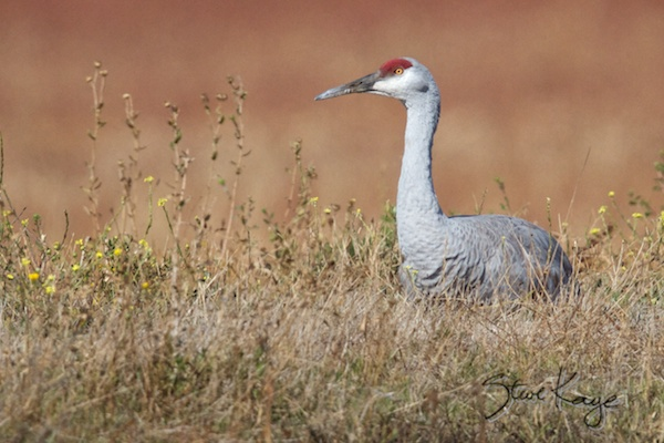 Sandhill Crane Sitting, Annual Report 2013, by Steve Kaye