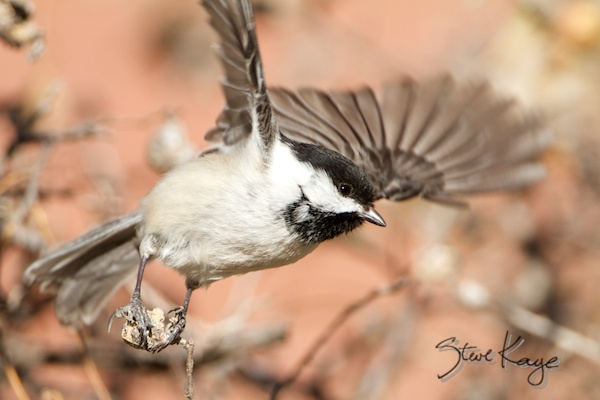 Black-capped Chickadee, Leaving
