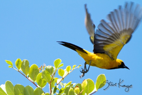 Hooded Oriole, Male, Leaving