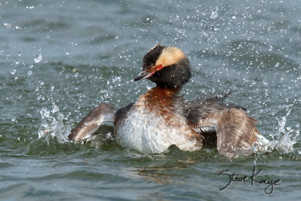 Horned Grebe, Breeding Plumage, Taking a Bath, Steve Kaye's Weird Career