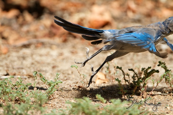 Western Scrub-Jay Leaving