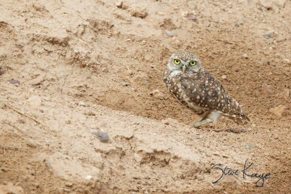 Burrowing Owl, (c) Photo by Steve Kaye, in Bird Photos 1, Photo by Steve Kaye