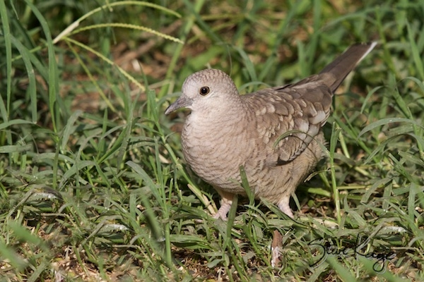 Inca Dove, (c) Photo by Steve Kaye, in Bird Photos 1, Photo by Steve Kaye