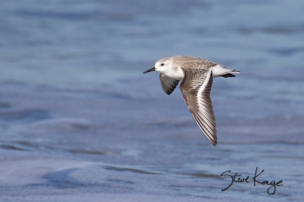 Sanderling, (c) Photo by Steve Kaye, in Clients for Steve Kaye