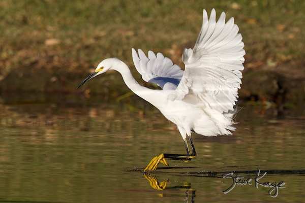 Another reason for gratitude: Snowy Egret, (c) Photo by Steve Kaye