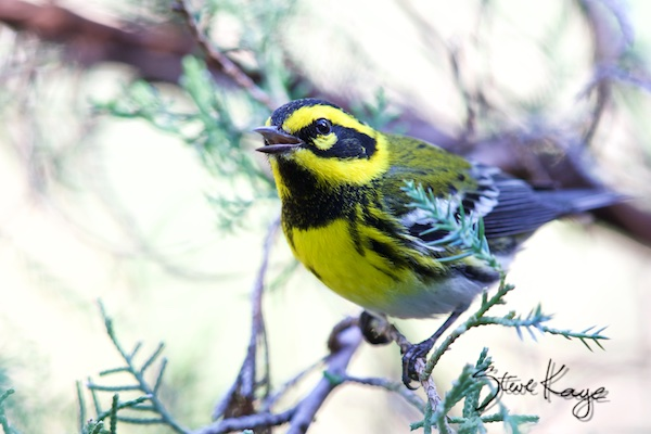 Townsend's Warbler, in Bird Photos 1, Photo by Steve Kaye