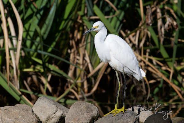 Snowy Egret, (c) Photo by Steve Kaye