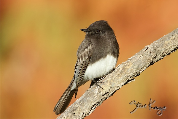 Black Phoebe, in Last Day of 2015, (c) Photo by Steve Kaye